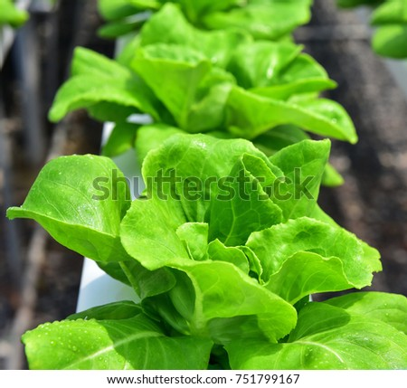 Young red oak, green oak, iceberg , cultivation hydroponic green vegetable in smart farm plant