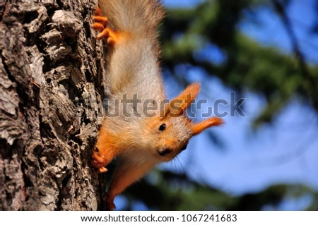 young red squirrel on tree in the park #1067241683