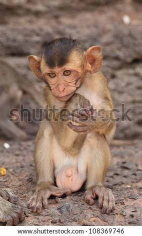 Young  rhesus macaque monkey in historic site, Thailand