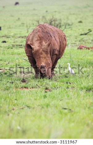Young rhinoceros feeding on fresh green grass in the Rietvlei Dam nature reserve, South Africa. The Rhino is covered in mud to ward of flies and other pests and is accompanied by a white Egret (bird)