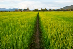 Young rice and pathway in fields.Rice field with pathway. Pathway in the middle of rice fields.
