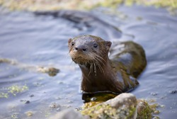 Young river otter comes out of the water to investigate me in a local pond near Ottawa, Canada