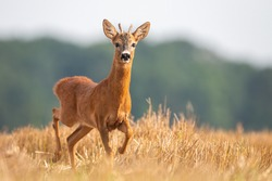 Young roe deer, capreolus capreolus, buck walking on stubble field during the summer. Juvenile roebuck running at sunrise from side. Wild animal looking to the camera.