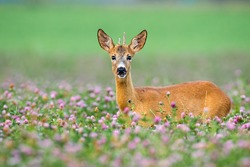 Young roe deer, capreolus capreolus, with little antlers looking from clover during the summer. Immature buck looking from flowers to the camera. Juvenile mammal standing on field.