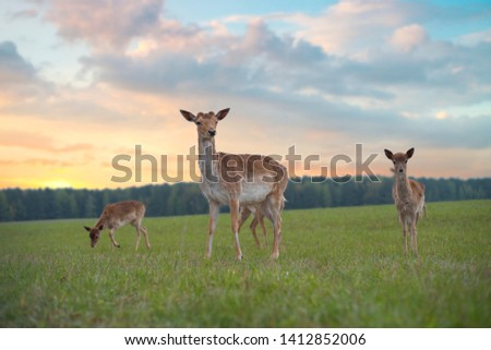 Young roe deer graze on the field near the forest #1412852006