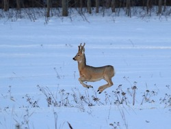 Young roe deer jumping, flies over a snow-covered field