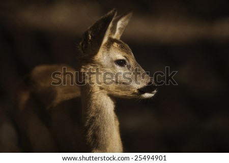 Young Roe deer on dark background - stock photo