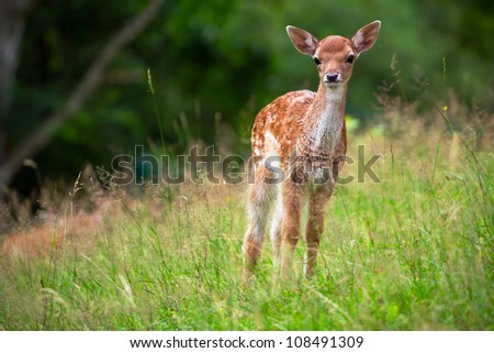 Young roe deer on the meadow