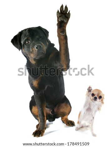 young rottweiler and chihuahua in front of white background