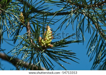 Young runaways of a pine in forest - stock photo