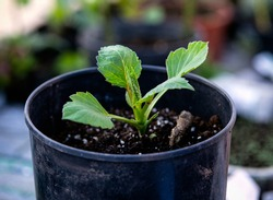 Young sapling dahlia sprout growing in protected greenhouse in pot