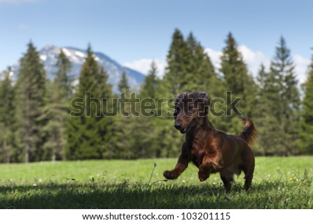 young sausage dog jumps in fresh green meadow with mountains in the back