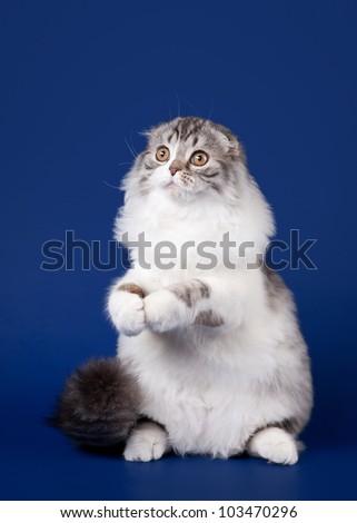 Young scotish highland fold kitten on dark blue background