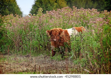 young scottish highland cow between tall flowers