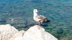 Young seagull stands on the stones on a background of the Adriatic Sea. Gulls are typically medium to large birds. Piran, Obalno-kraska, Slovenia, June 2020. csabaprog