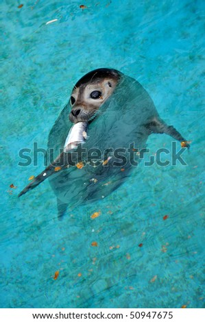Young seal swimming in the pool with a fish in its mouth