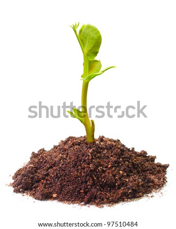 Young seedling of a peas (Pisum sativum) growing in a soil. Peas are high in fiber, protein, vitamins, minerals, and lutein.
