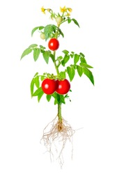 young seedling of fresh green and red tomatoes fruit and flowers with exposed roots is isolated on white background, close up