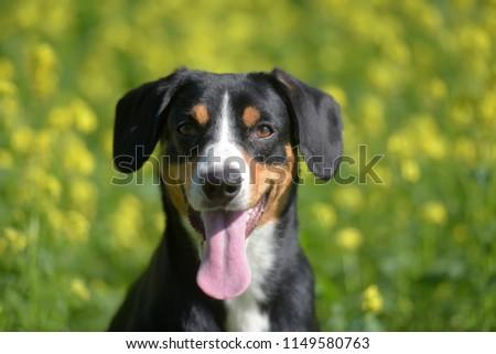 Young Sennenhund, close-up, playfull look #1149580763