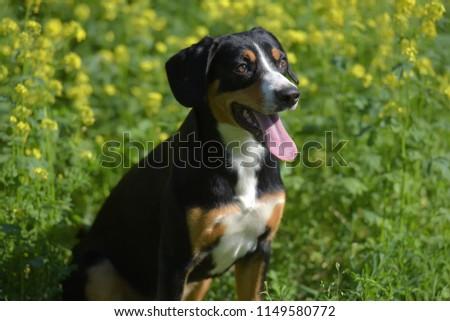 Young Sennenhund, close-up, playfull look #1149580772