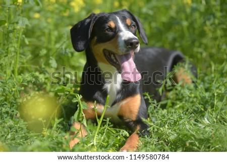 Young Sennenhund, close-up, playfull look #1149580784