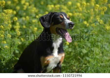 Young Sennenhund, close-up, playfull look #1150721996