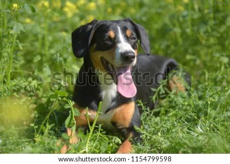 Young Sennenhund, close-up, playfull look #1154799598