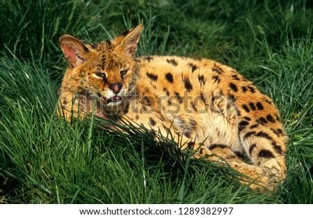 Young Serval big-cat #1289382997