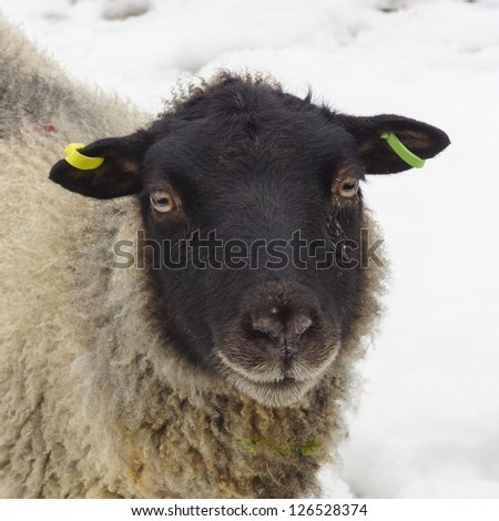 Young sheep / Lamb on a winter day