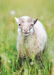 Young sheep or lamb grazing on green spring meadow, eating dandelion stalk, looks like it's smiling