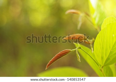 young shoot of the tree leaf in the tropical forest