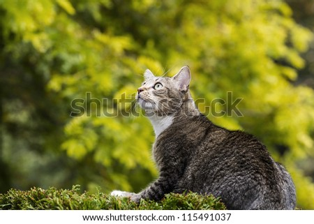 Young short hair grey tabby cat hunting outdoors with turning fall leaves in background