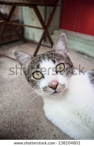 Young siamese cat looking at the camera