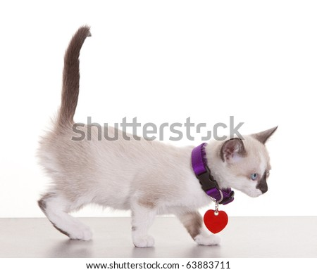 Young siamese kitten wearing collar and tag on a white background.