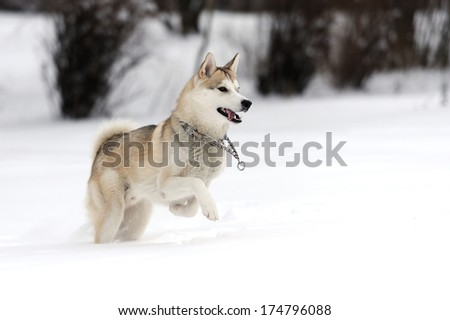 Young Siberian Husky Dog In Snow Ez Canvas