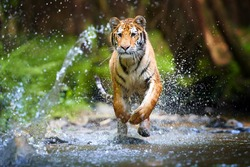 Young Siberian tiger, Panthera tigris altaica, running in a forest stream against dark green spruce forest. Tiger among water drops in a typical taiga environment. Direct view, low angle photo. Russia