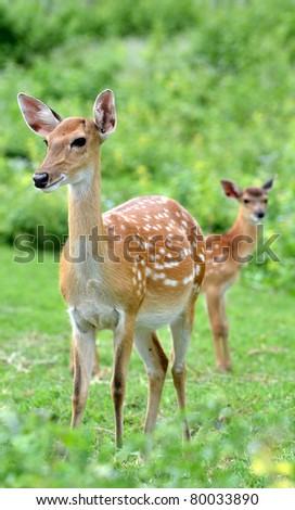 young sika deer and their mother