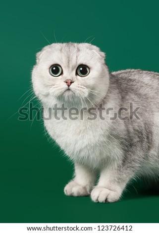 young silver british kitten on dark green background