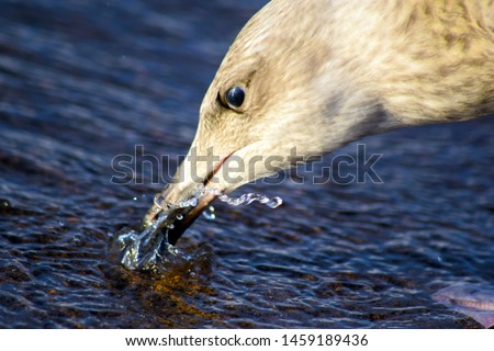 Young silver gull (Larus argentatus). Strong and aggressive bird. Washes the beak in the water.