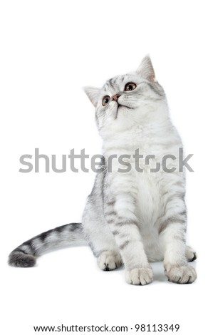 young silver tabby Scottish cat sitting and looking up