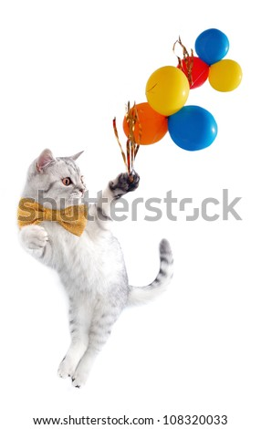 young silver tabby Scottish cat with bow tie with balloons