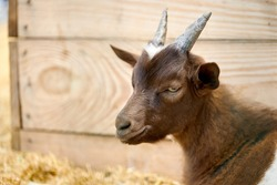 young small goat at animal farm. close up. animal portrait. farming concept.