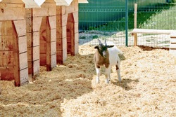 young small goat near wooden house at animal farm. farming concept.