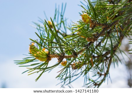 young small green cones and branches in nature against the blue sky on a Sunny day. greens, young green fir cone, coniferous tree on the background of fir needles, fir cone, fir branch, #1427141180