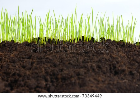 young small green grass on humus soil, macro
