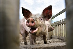 Young smilling pig on the farm, close-up of a pig's head, big ears. Happy dirty pig reveling in the mud. Pig behind fence.
