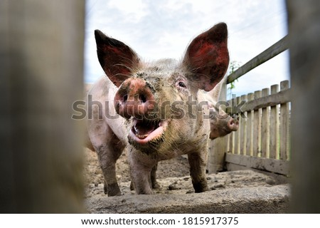 Young smilling pig on the farm, close-up of a pig's head, big ears. Happy dirty pig reveling in the mud. Pig behind fence. Stock photo ©