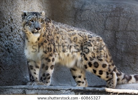Young snow leopard (Uncia uncia), the most beautiful wild cat of central Asia