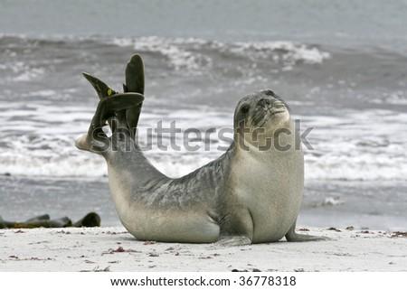 Young southern elephant seal bull (Mirounga leonina) on the beach on Seal Lion Island, Falkland Islands