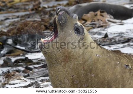 Young southern elephant seal bull (Mirounga leonina) roaring on the beach on Seal Lion Island, Falkland Islands